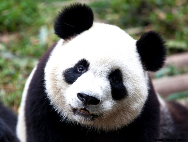 Panda Bear Animal