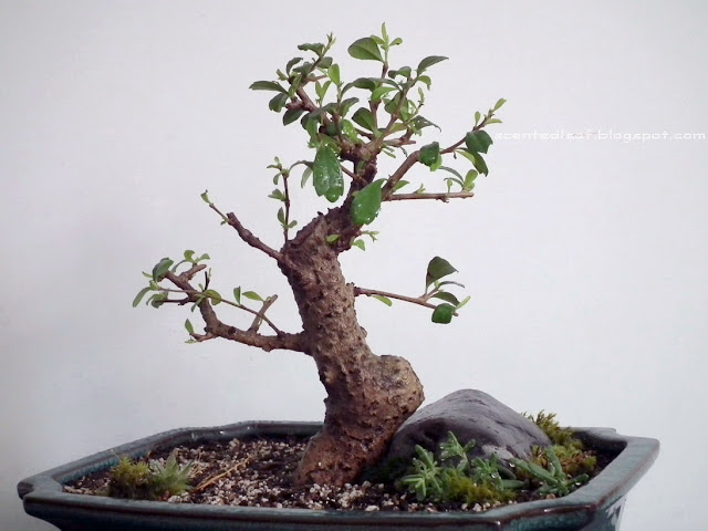 Sudowoodo bonsai - Fukien Tea