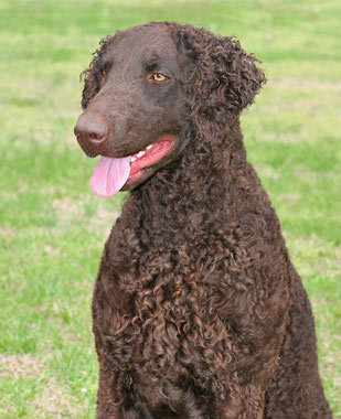 Curly Coated Retriever Dog 2