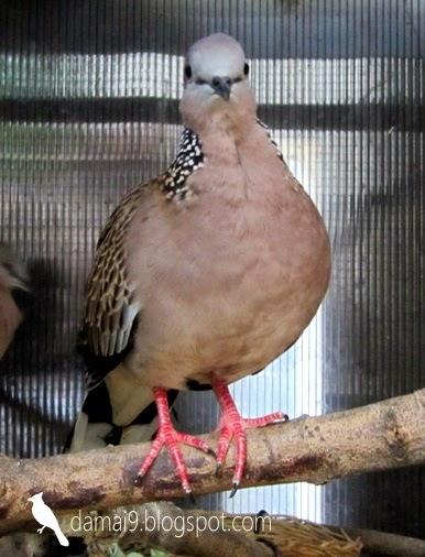 Burung Tekukur Kuk Manggung Gacor