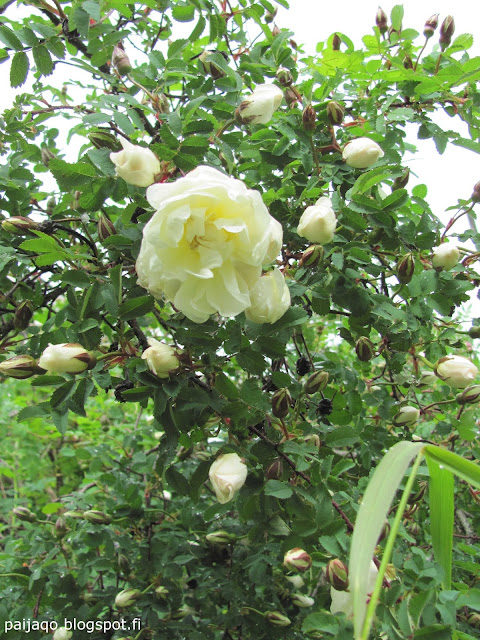 juhannus: ruusu