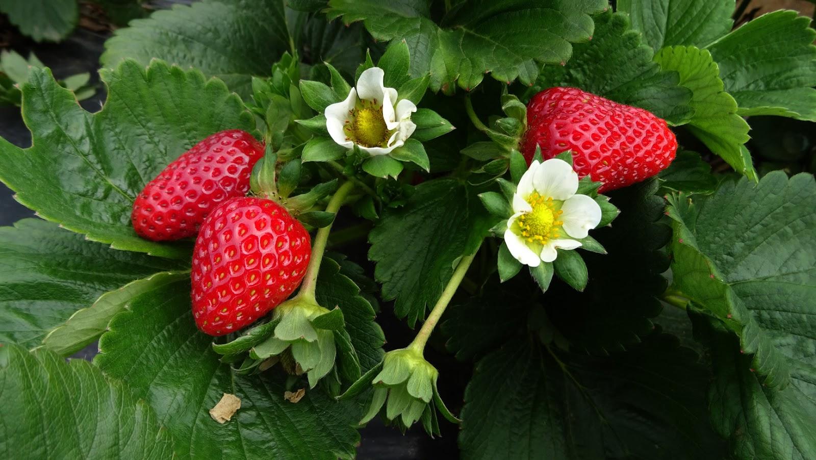 Strawberry season dates in Melbourne