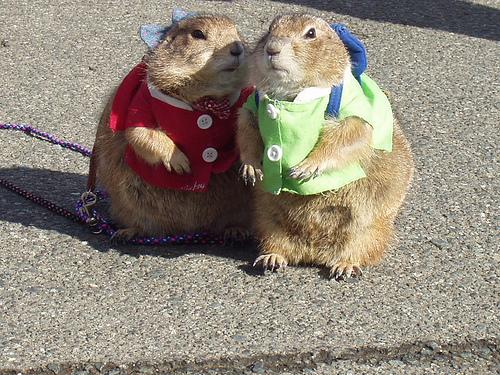 Funny marmot