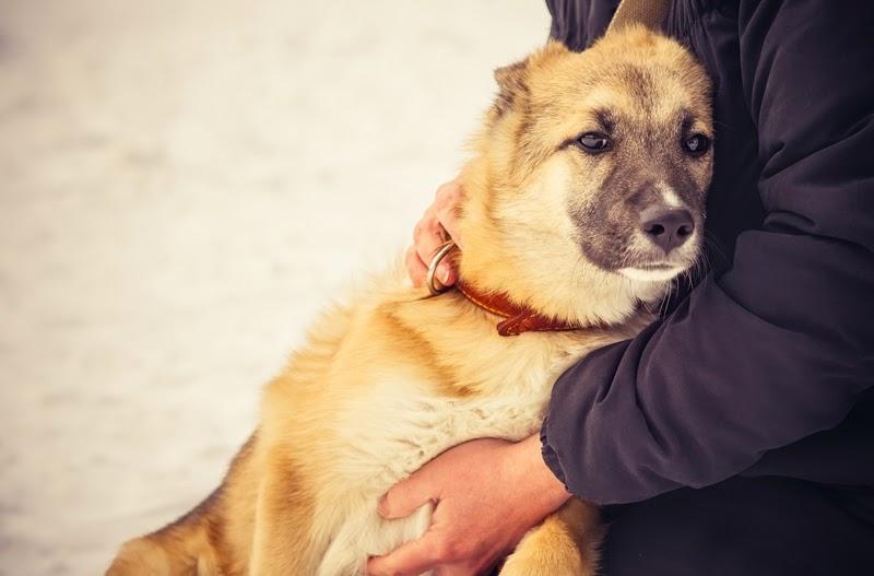 A panhandler's German Shepherd Dog on the street