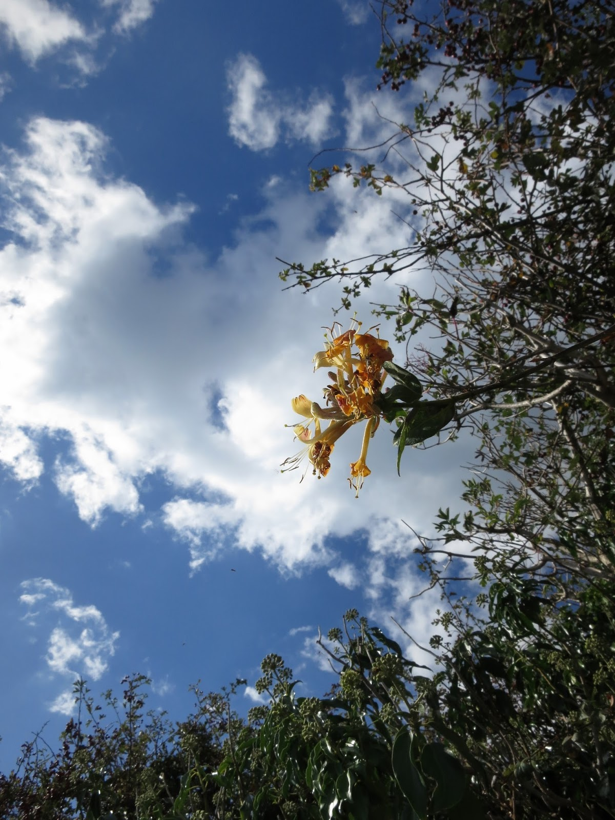 Single honeysuckle (Lonicera) flower leaning from hedgerow in front of dramatci sky