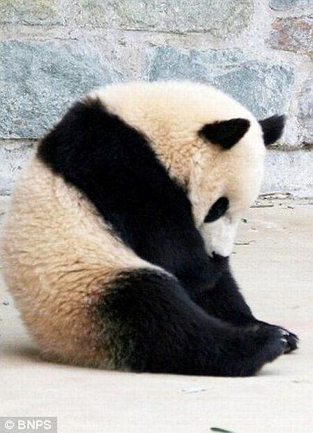 funniest panda pictures