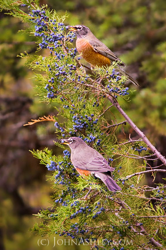 Robins eating juniper berries (c) John Ashley