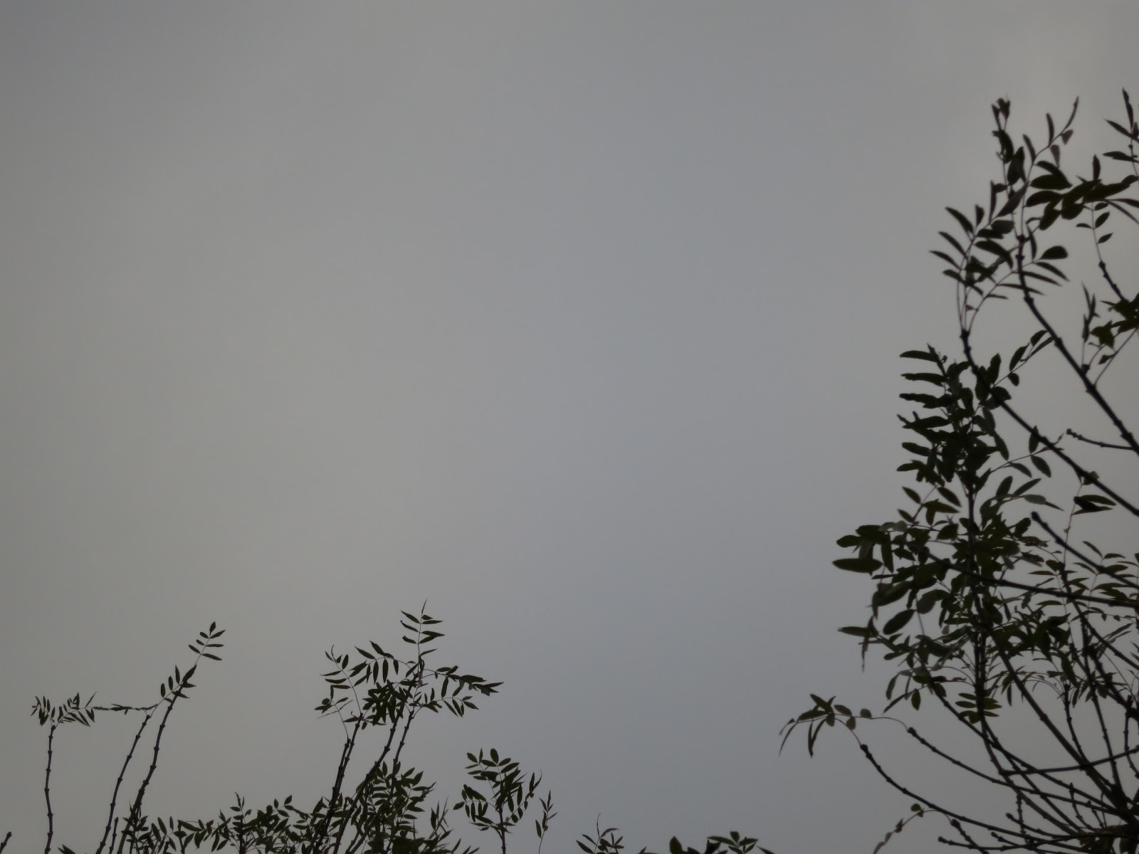 The tops of ash trees silhouetted against a grey sky