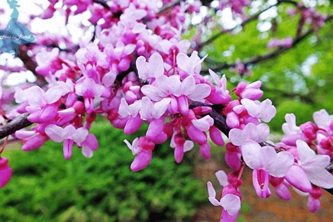 flori roz gradina botanica iasi