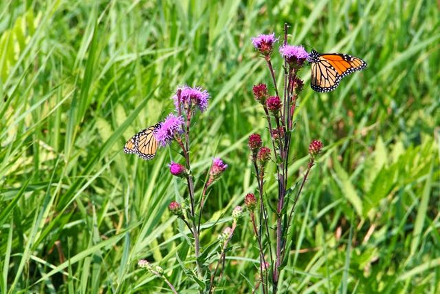 monarch butterflies on deer-browsed Northern Plains Blazing Star