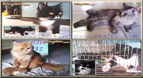 Januari 2015 Kucing Persia