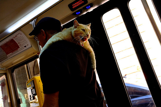 Cat on a bus in Rome
