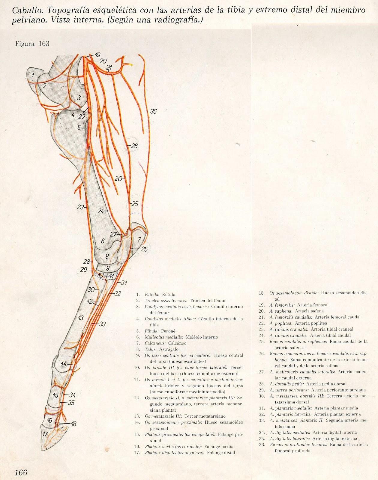 Anatomia Veterinaria: Miembro Pelviano (Equinos)