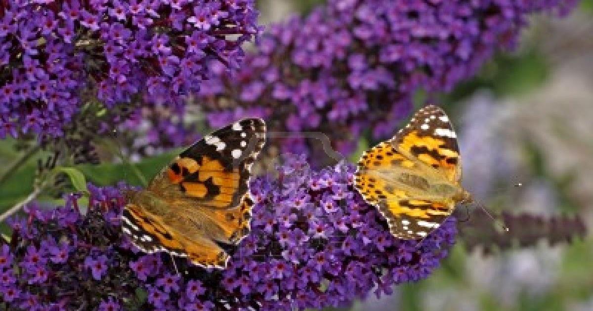 pivoines et macarons buddleja davidii arbre papillons. Black Bedroom Furniture Sets. Home Design Ideas