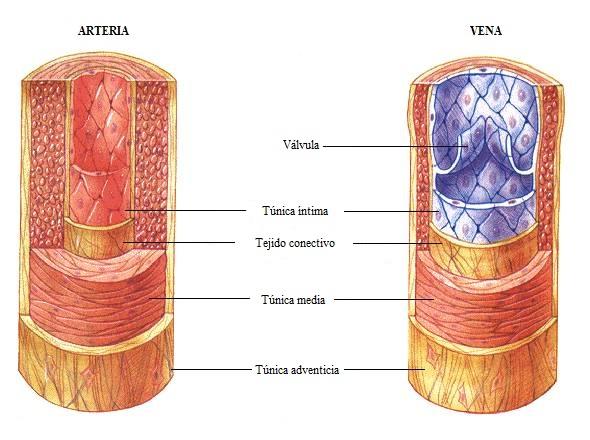 Biología Humana: SISTEMA CIRCULATORIO: Vasos sanguíneos