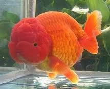 ikan Koki, Ikan mas koki, cara merawat ikan mas koki, jenis jenis ikan koki, budidaya ikan mas koki