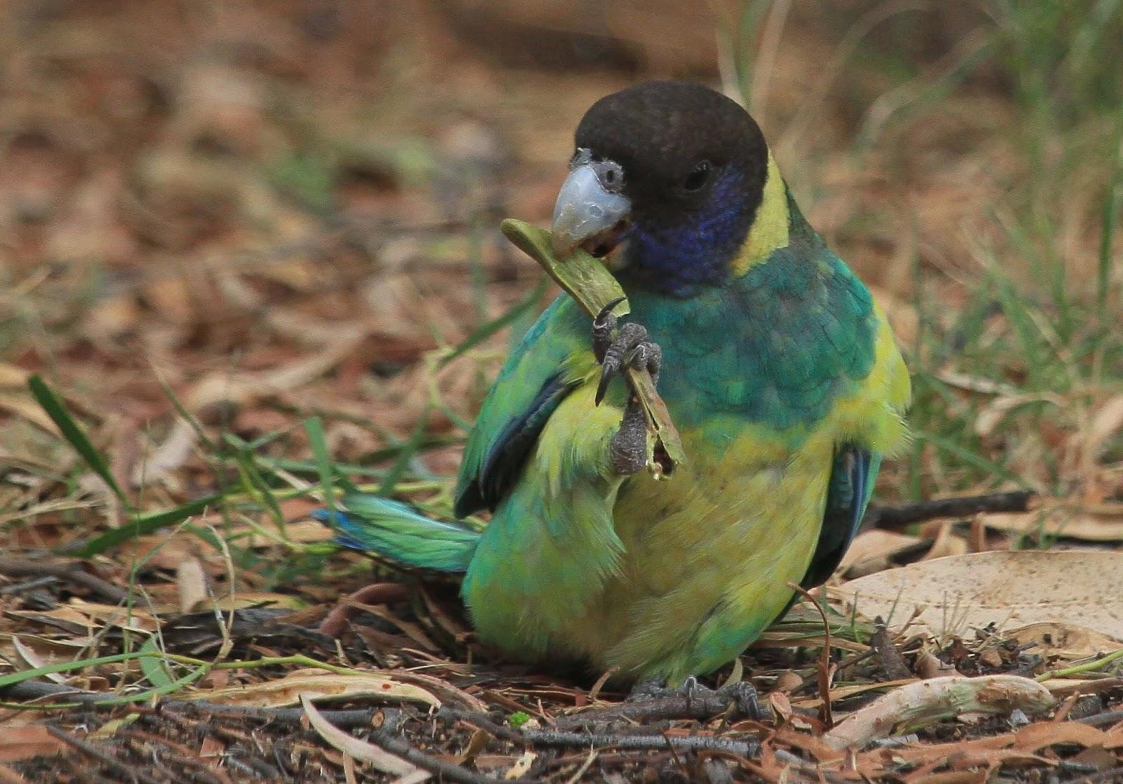 richard waring u0027s birds of australia backyard visitors