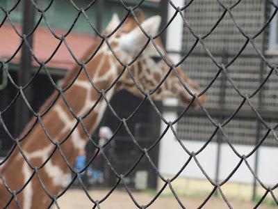 жираф стоит
