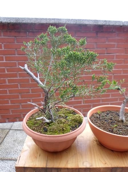 junipero- proyecto de planton a bonsai
