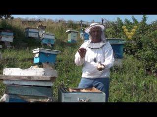 Клипы для ловли маток  освещение вывода пчелиных маток  на факультете зоотехнии и биологии имеется кафедра аквакультуры и пчеловодства, где и производится обучение пчеловодческим наукам.