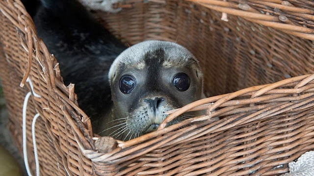 Funny animals of the week - 3 January 2014 (40 pics), baby seal in a basket