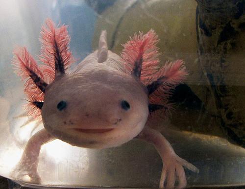 sandyonlyalice - fish with hands- السمكة التي لها أرجل و أيدي -الأكسولوتل أو السمندل أو عفريت الماء-  Axolotl