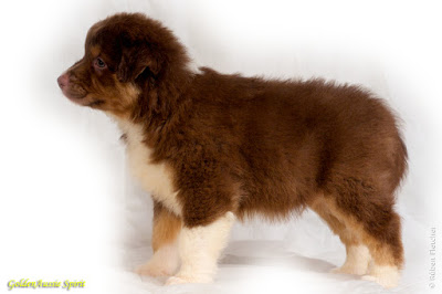 tri-red australian shepherd puppy
