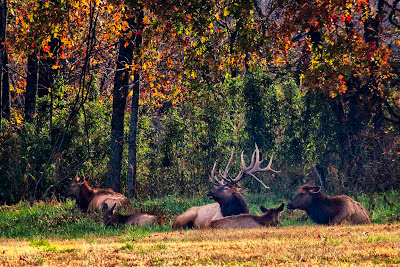 Big elk and harem bedding down in Boxley Valley