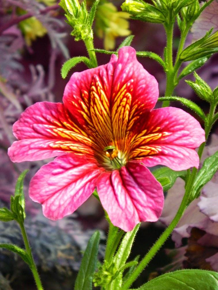Salpiglossis sinuata Centennial Park Conservatory 2015 Spring Flower Show by garden muses-not another Toronto gardening blog