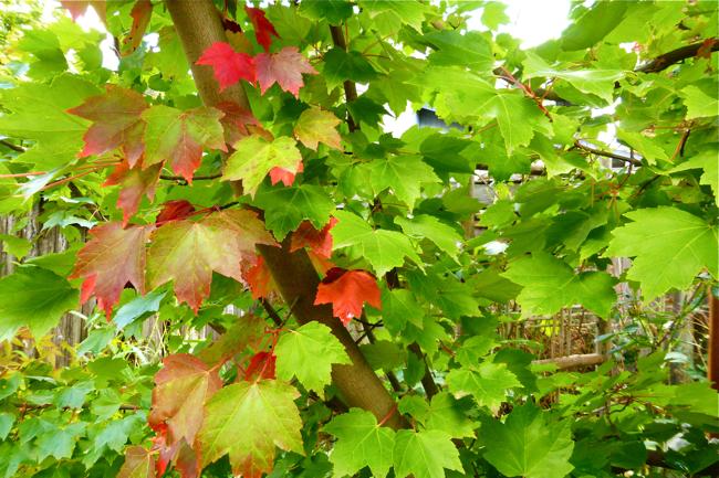 maple, maple tree, red, green, Jimmy's maple, Jimmy's maple tree, garden