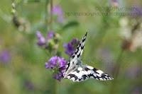 photo papillon noir et blanc en vol papillon qui vole demi-deuil