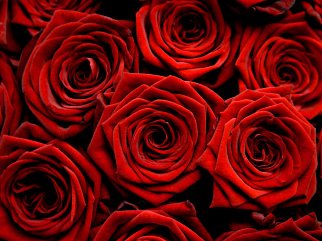 the red rose not only carries more meaning than many other color roses ...