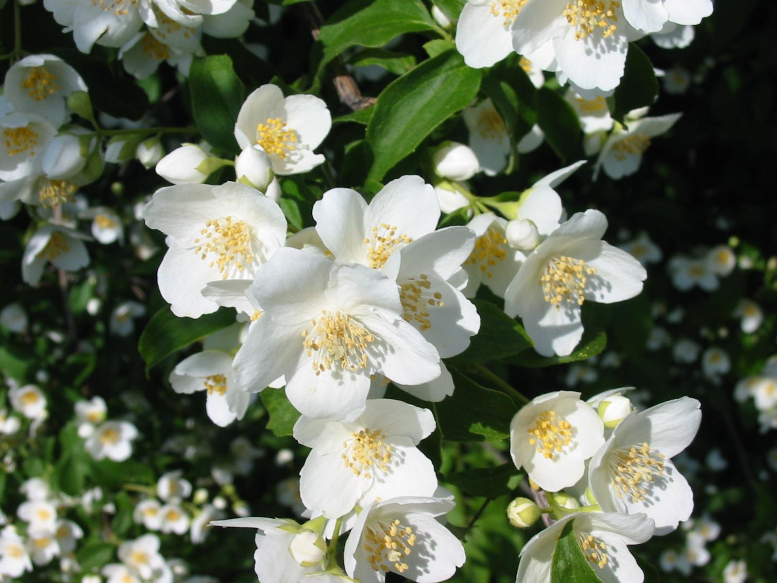 gambar bunga melati foto bunga melati putih tercantik bunga melati