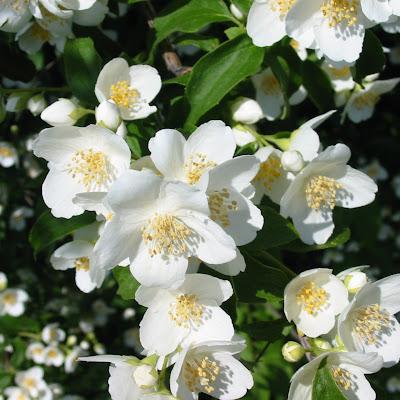 Gambar-Gambar Bunga Melati