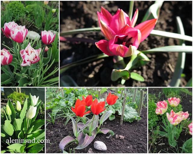 разные сорта тюльпанов, ранние тюльпаны, алени нсад, посадка тюльпанов, как сажать тюльпаны, правила посадки