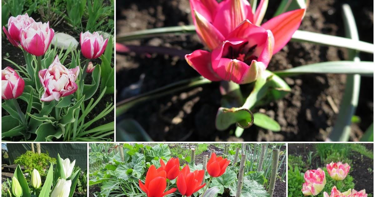 Тюльпан выращивание в саду 754