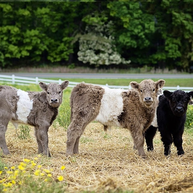 Cute  Beltie Cows: The Best of 2014 in Food and Travel