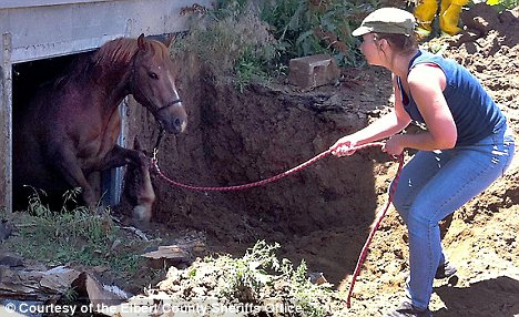 Horse falling into basement