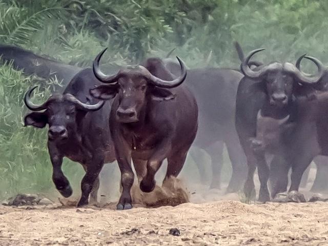 Afrikanske bøfler i galop mod løve