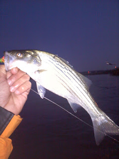 Gravelly point striped bass at night fly fishing consultant for Striper fishing at night