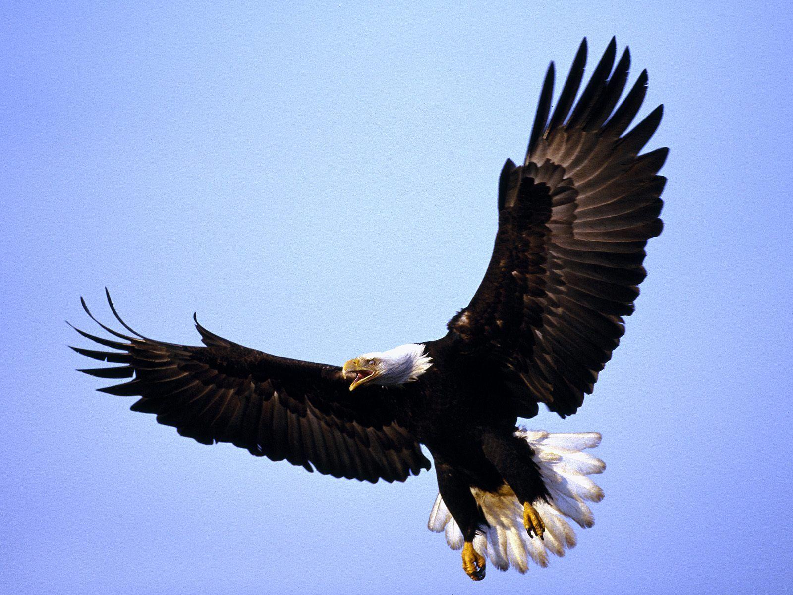 Winter Migration of Bald Eagles - Skagit Eagle Festival