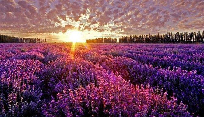 http://3.bp.blogspot.com/-DwlrU2kPaaw/T5lu79K02gI/AAAAAAAAEmM/RrJaMSfD0jM/s1600/landscape%2Blavanda.JPG