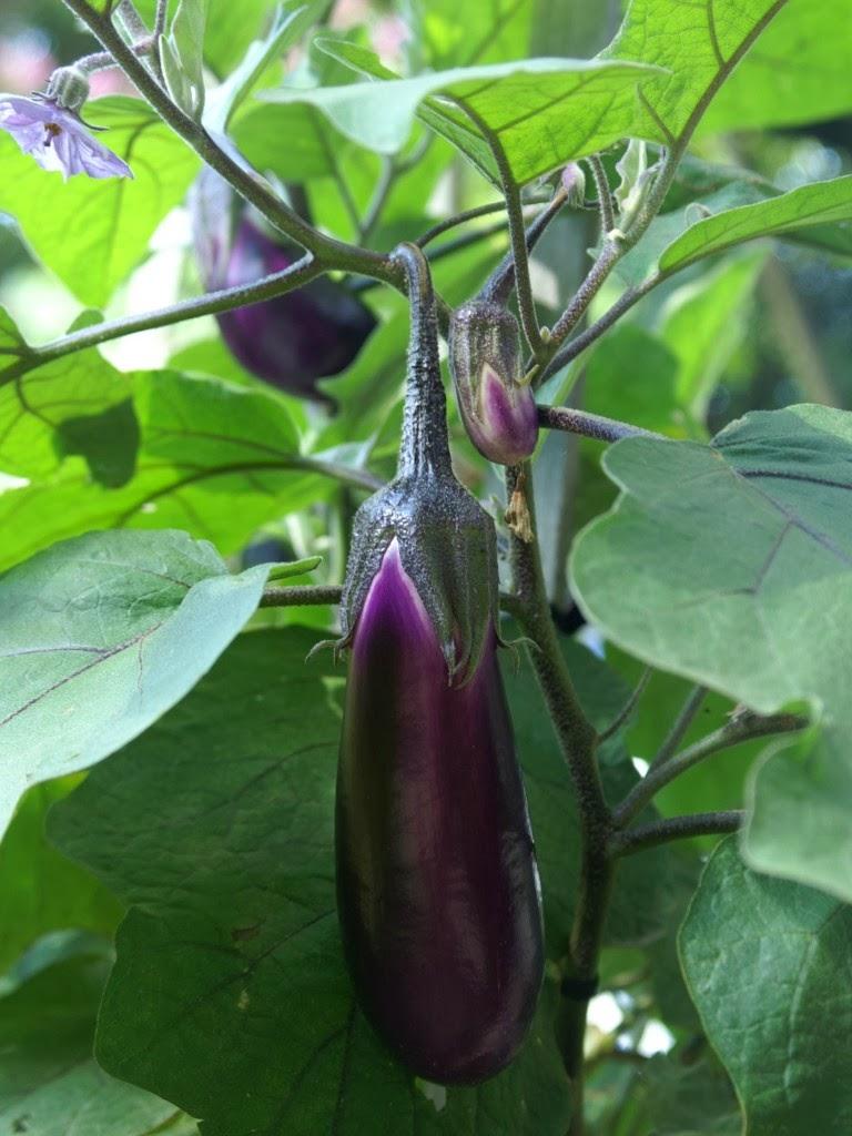 Casino f1 eggplant