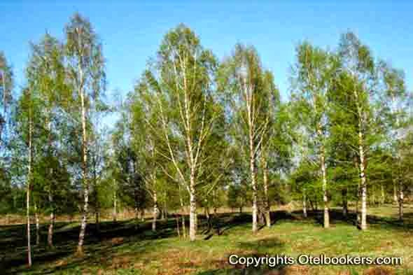 Birch_trees_in_spring_Belarus