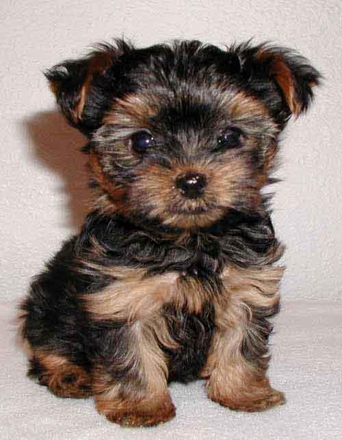photo de chien yorkshire nain