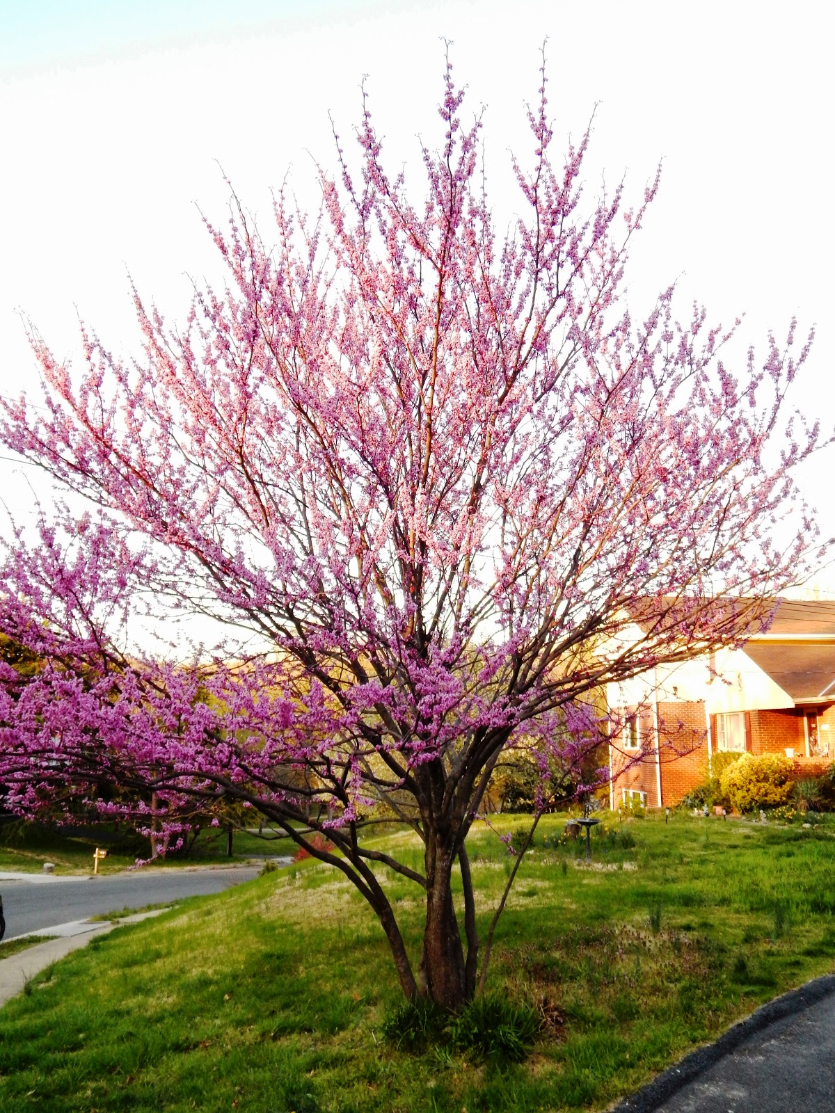 photograph about Legend of the Dogwood Tree Printable named Money Naturalist by means of Alonso Abugattas: Jap Redbud and