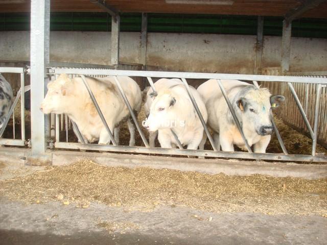 Belgia Larang Penyembelihan Hewan Secara Halal dan Kosher