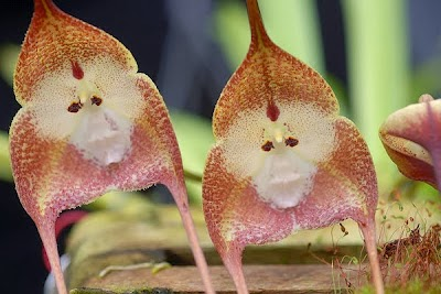 Exotic orchids-faced ape: the Dracula orchid.