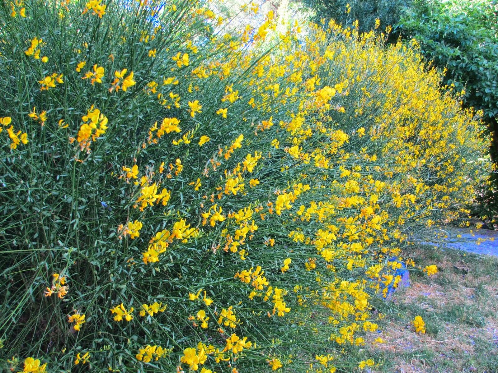 La mar de verde arbustos ornamentales for Arbustos de jardin nombres