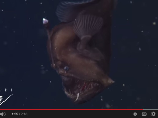 ikan anglerfish monster laut